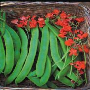 Runner Bean Lady Di - Early stringless - 50 seeds
